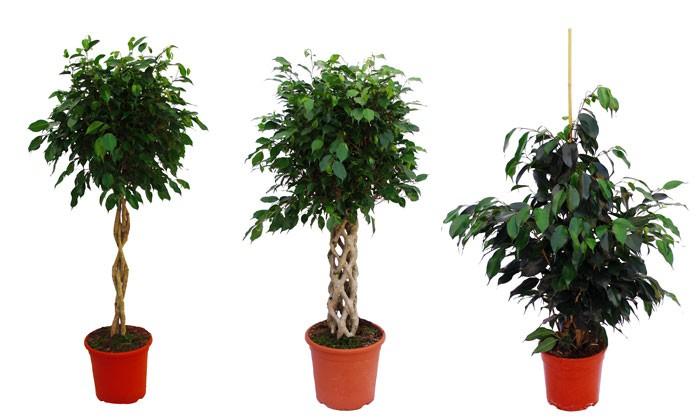 Tipos de Ficus benjamina