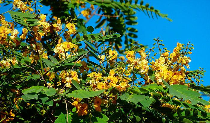 Tipuana tipu en floración