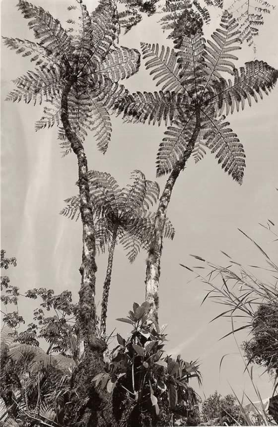 Tom Zetterstrom, Tree Ferns 1992 Costa Rica