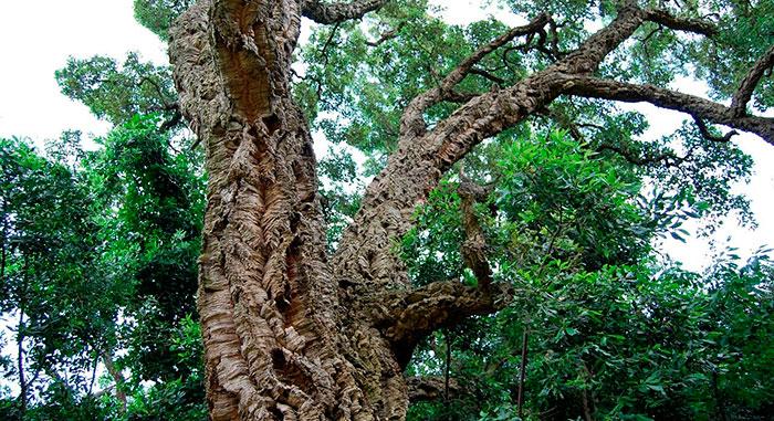 Tronco de Quercus suber