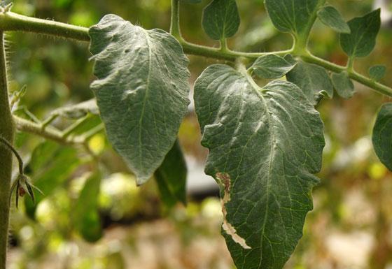 Galerías de Tuta absoluta en hojas de tomate