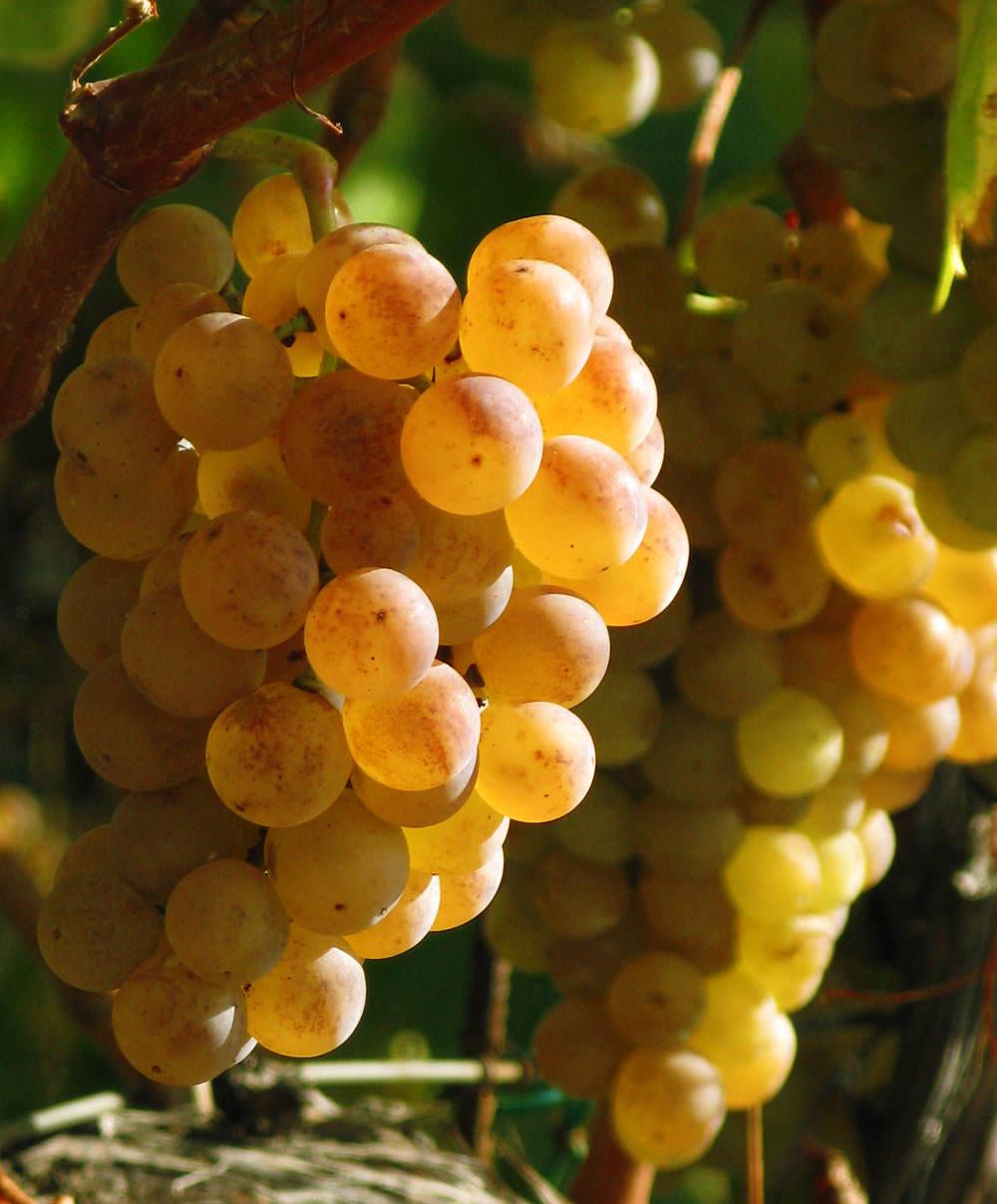 uva pansa blanca