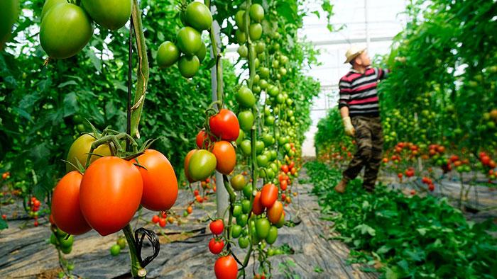 Variedad de tomate híbrido Carbino