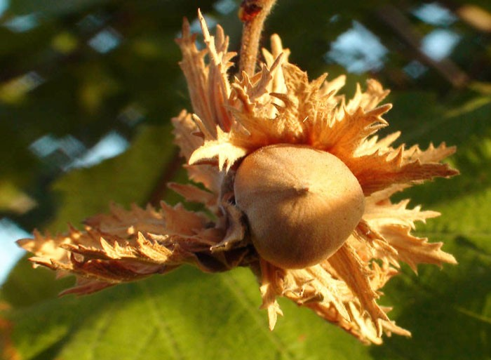 variedades de avellana