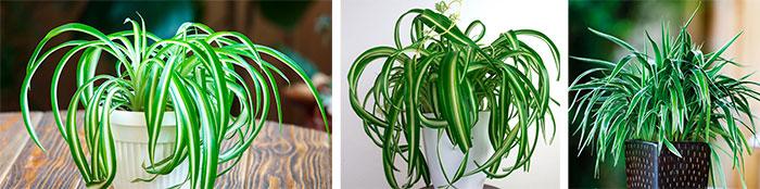 Variedades de Chlorophytum comosum