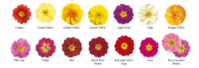 Variedades de Primula acaulis