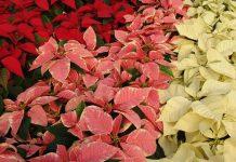 Variedades de Poinsettia