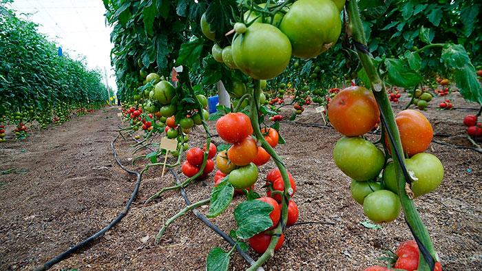 Variedades híbridas de tomate Nirit Seed