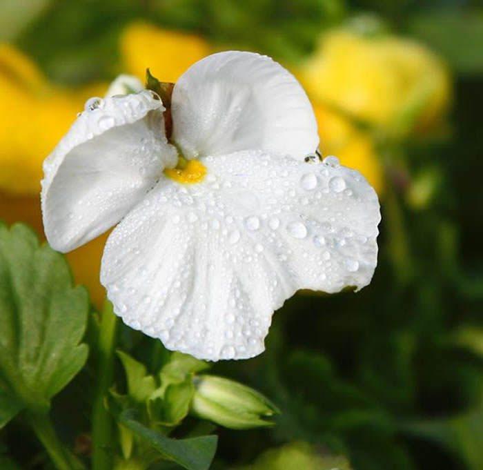 Flores de Viola x wittrockiana blanca