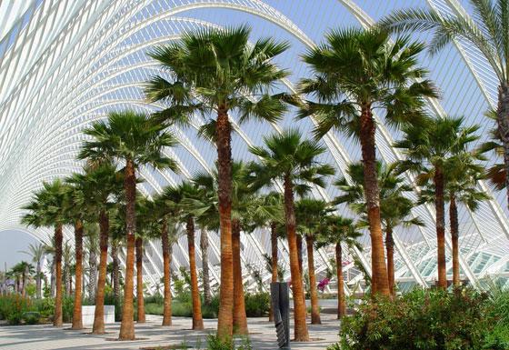 washingtonia palm tree washingtonia robusta 8 seeds. Black Bedroom Furniture Sets. Home Design Ideas