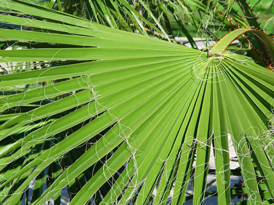 Hoja de Washingtonia Robusta