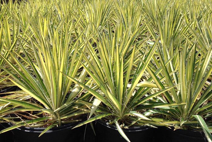 """Yucca filamentosa """"Color Guard"""""""