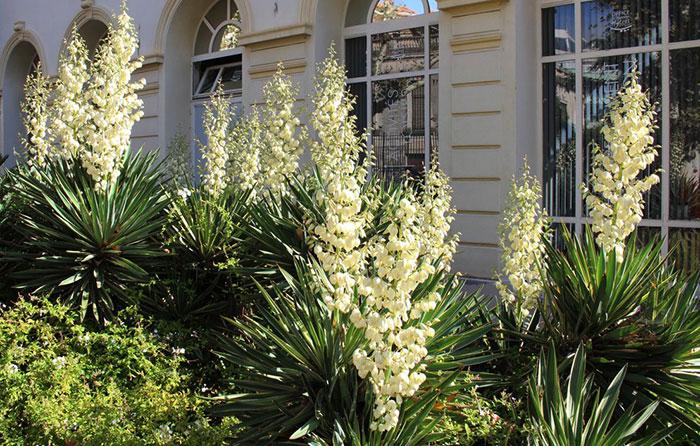Yucca gloriosa en el jardín